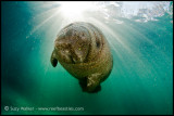 Manatee Baby in the sunshine