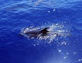 Dolphin, Sharm 2005