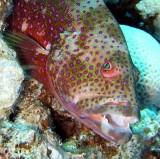 Menacing grouper, Sharm 2005