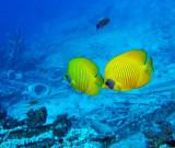 masked butterfly fish by Yolanda Wreak, Sharm 2005