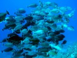 Unicorn fish, Sharm 2005