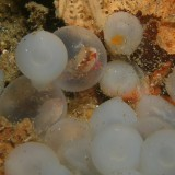 Flambuoyant Cuttlefish Eggs about to hatch!
