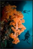 w/a orange soft coral