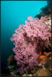 w/a pink soft coral