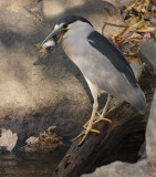 Bihoreau gris / Black-crowned Night-Heron