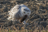 Harfang des neiges -- _MG_4466 -- Snowy Owl