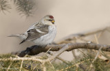 Sizerin blanchâtre // Hoary Redpoll