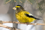 Gros-bec errant / Evening Grosbeak
