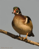Branchu -- Wood Duck
