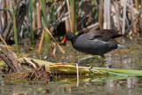 Gallinule poule-d'eau -- Common Moorhen