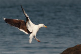Goéland marin, Great Black-backed Gull