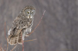 Chouette lapone // Great Gray Owl