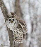 Chouette rayée -- _E5H2048 -- Barred Owl