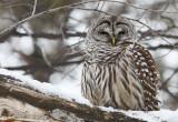 Chouette rayée -- _E5H2210 -- Barred Owl