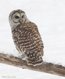 Chouette rayée -- _E5H2074 -- Barred Owl