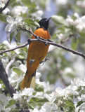 Oriole de Baltimore, Northern Oriole