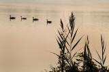 4 ducks.jpg