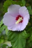 Lavendar flower.jpg