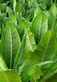 Tobaco leaves.jpg