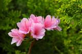 Pinkflowersreachingforgreen.jpg