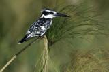pied kingfisher120.jpg
