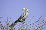 southern yellow-billed hornbill01.jpg