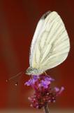 Green-veined white/Klein geaderd witje 2