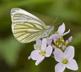 Green-veined white/Klein geaderd witje 1