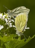 Green-veined white/Klein geaderd witje 7