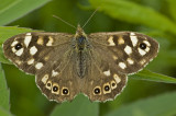 Speckled wood/Bont zandoogje 9