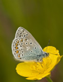 Common blue/Icarusblauwtje 15