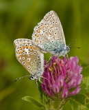 Common blue/Icarusblauwtje 16