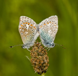 Common blue/Icarusblauwtje 17