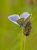 Common blue/Icarusblauwtje 20