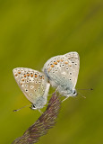 Common blue/Icarusblauwtje 21