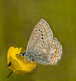 Common blue/Icarusblauwtje 22