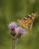 Painted Lady/Distelvlinder 28