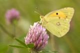 Clouded yellow/Oranje luzernevlinder 31