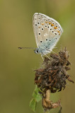 Common blue/Icarusblauwtje 33