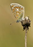 Common blue/Icarusblauwtje 34