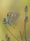 Common blue/Icarusblauwtje 36