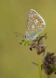 Common blue/Icarusblauwtje 38