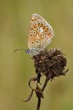 Common blue/Icarusblauwtje 39
