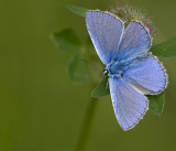 Common blue/Icarusblauwtje 41