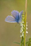 Common blue/Icarusblauwtje 44