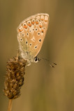 Common blue/ Icarus blauwtje 47