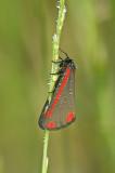 Cinnabar moth/St. Jacobsvlinder 73