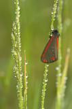 Cinnabar moth/St. Jacobsvlinder 74