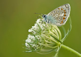 Common blue/ Icarus blauwtje 87