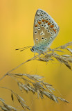 Common blue/ Icarus blauwtje 88